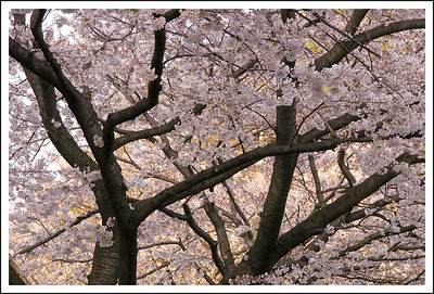 Cherry trees in the neighborhood park