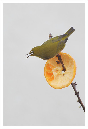 A white-eye on the apricot tree.  I put out fruit for them in the winter.