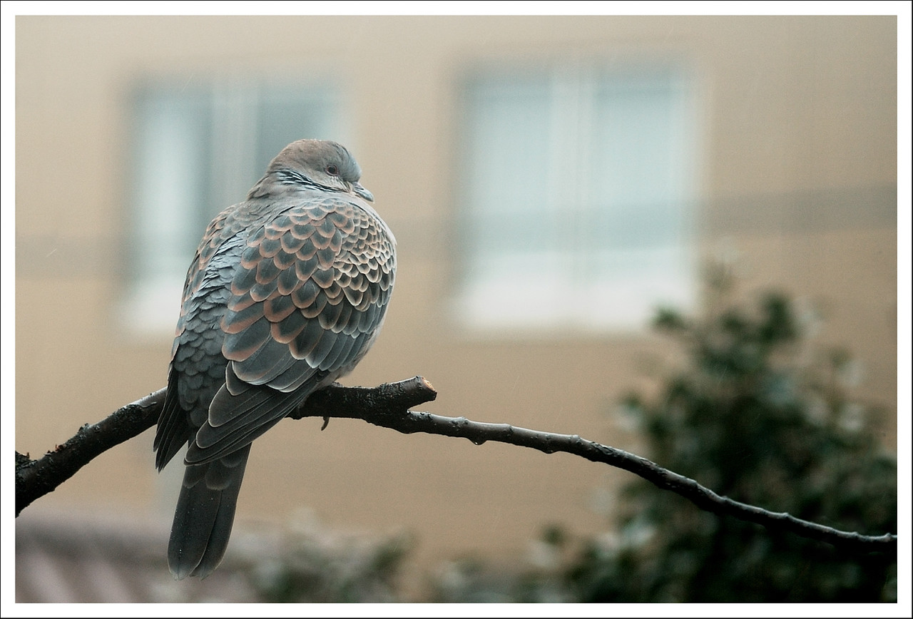 A Turtle dove perching on our apricot tree.  This year they had a nest in the neighbor's tree, and the one who was not on the nest often took look out duty on this branch of our tree.