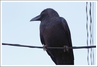 These huge jungle crows are very prevalent in Tokyo.