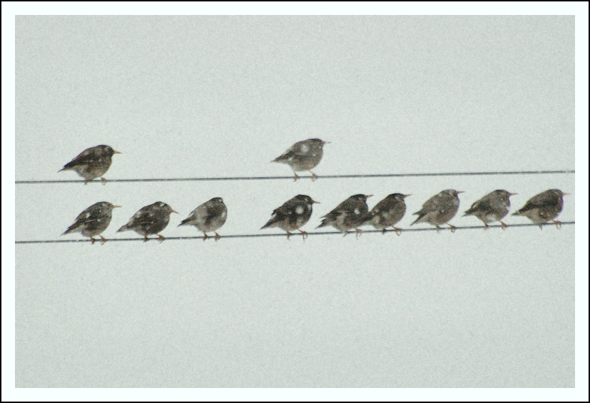 Birds on a snowy day.  This is taken from our living room window in January.  These are Gray Starlings.
