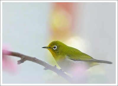 A Japanese White Eye.  This was taken from my dining room window.  The orange pole in the background is for hanging laundry on my balcony.