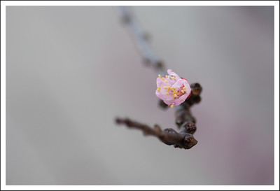 An early apricot blossom.