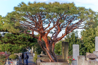 A beautiful pine tree that has grown very large over the years.
