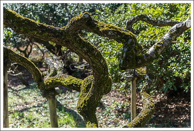 """This plum garden is famous for its """"crawling dragon"""" very ancient plum trees."""
