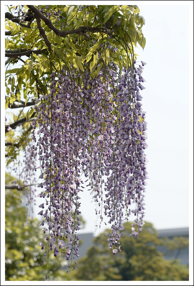 Seishi and I went together the end of April and the wisteria was in bloom!