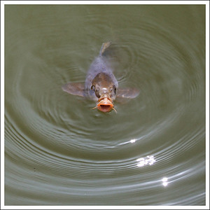 A hungry carp