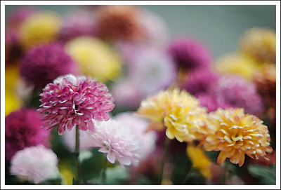 In November the gardens has a special chrysanthemum show.