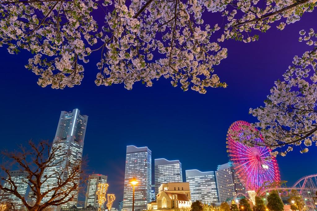 Night view of cherry blossoms and Yokohama Minatomirai