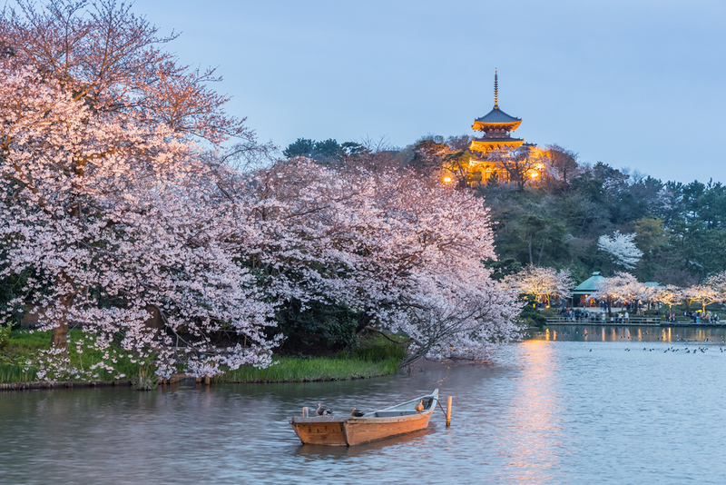Cherry blossoms in the evening at Sankeien Garden, Yokohama. Editorial credit: Sakarin Sawasdinaka / Shutterstock.com