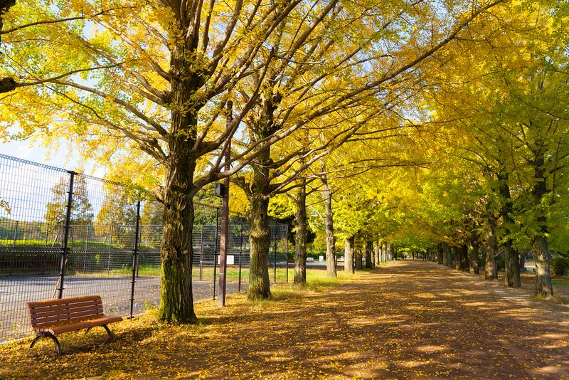 Golden ginkgo avenue in Yamashita Park, Yokohama.. Editorial credit: structuresxx / Shutterstock.com