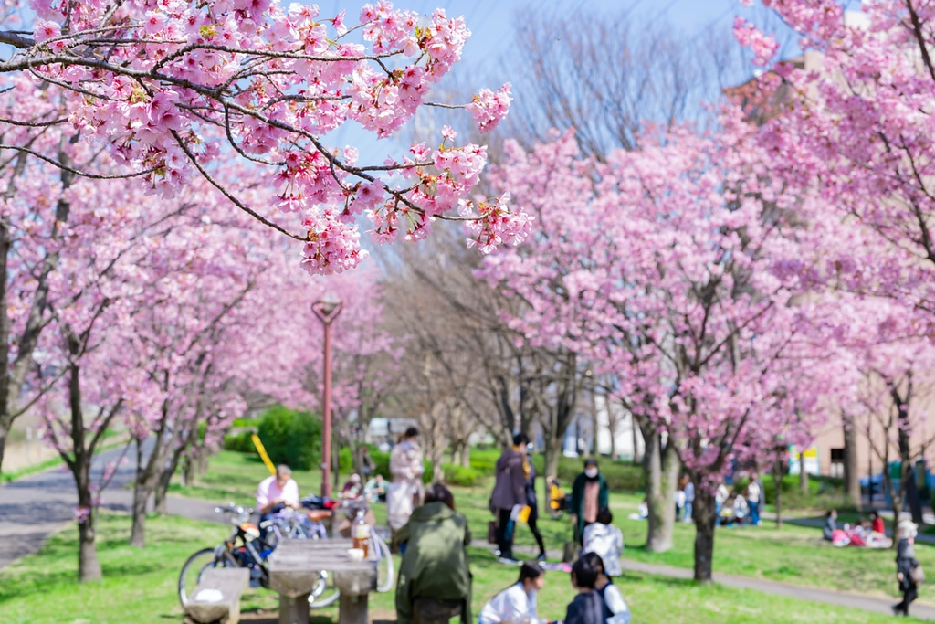 Early blooming cherry blossoms at Shin Yokohama Park