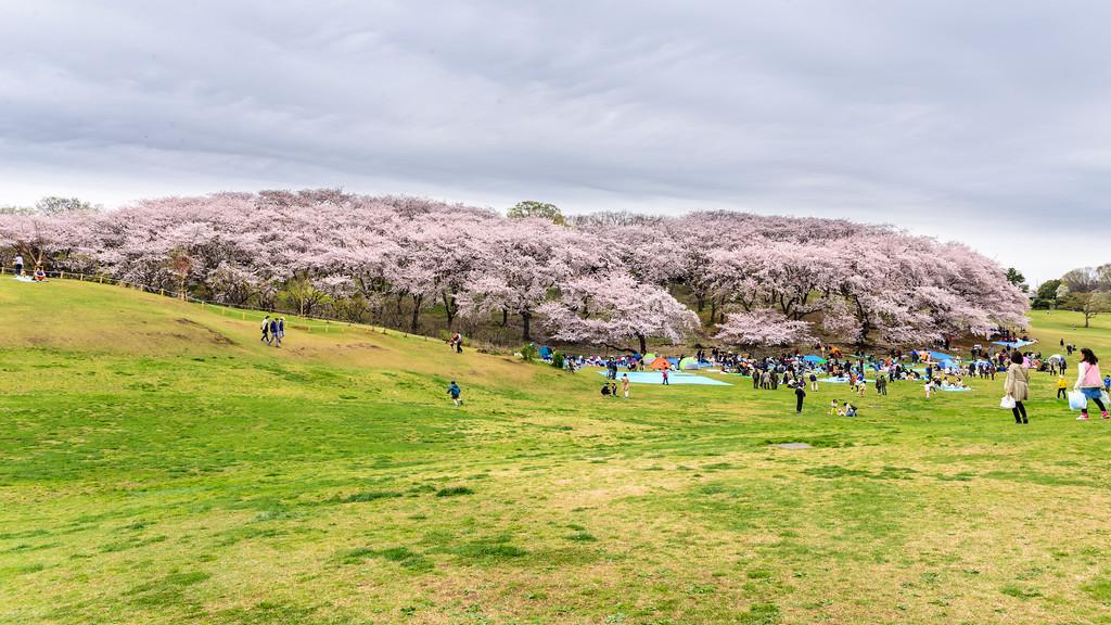 Cherry blossoms in full bloom at Negishi Forest Park, Yokohama. Editorial credit: Raju Soni / Shutterstock.com