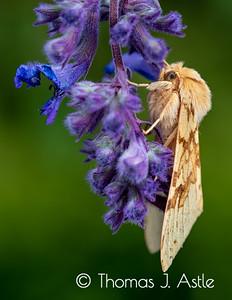 Spotted Tussock Moth (Lophocampa maculata), Montana