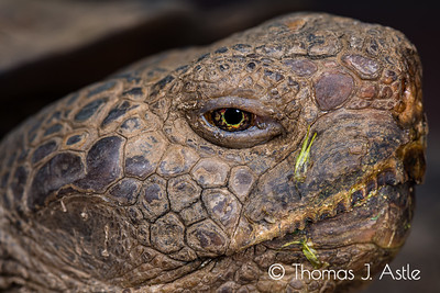 Desert tortoise portrait