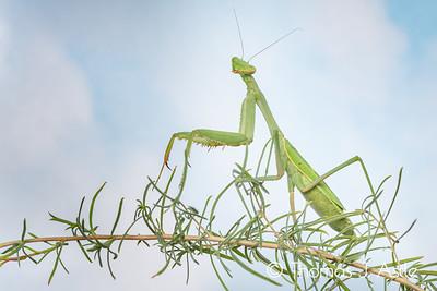 Adult female mantis, Stagmomantis sp.