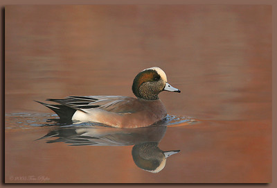 Foggy Morning American Wigeon