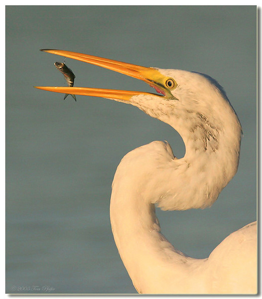 Great Egret Flip