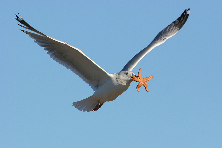 Herring Gull with Starfish