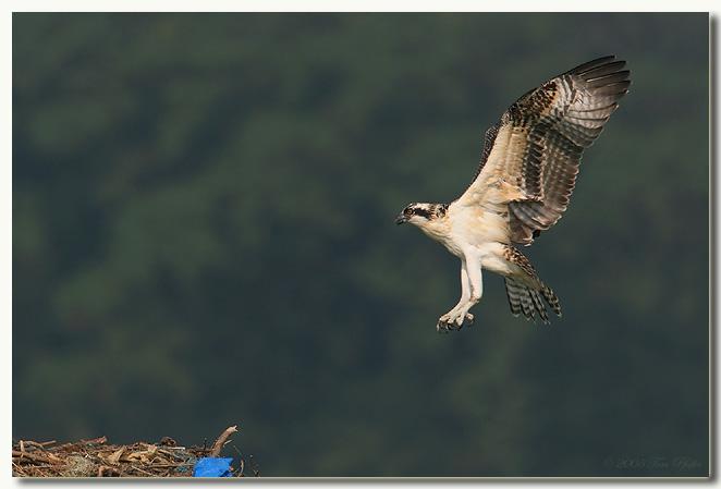 Osprey Fledgling Returning From First Flight