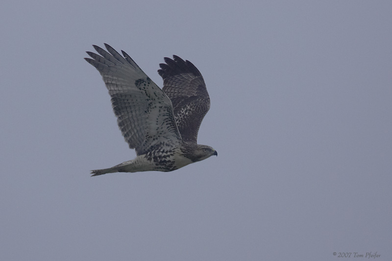 Red tailed Hawk in Heavy Fog
