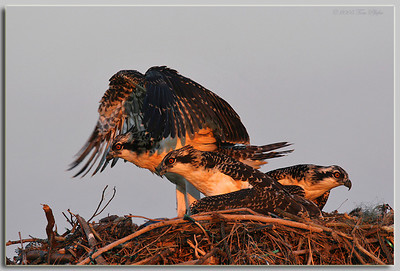 Osprey Siblings on Nest