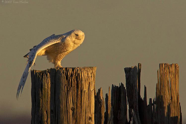 Snowy Owl Wingstretch
