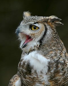 Great Horned Owl (c) Quogue Wildlife Refuge