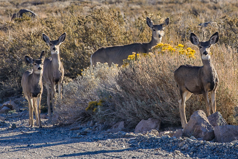 Mule Deer Migration happens in October as the deer migrate down from Tioga Pass to the Mono Lake basin for winter. _DSC2408
