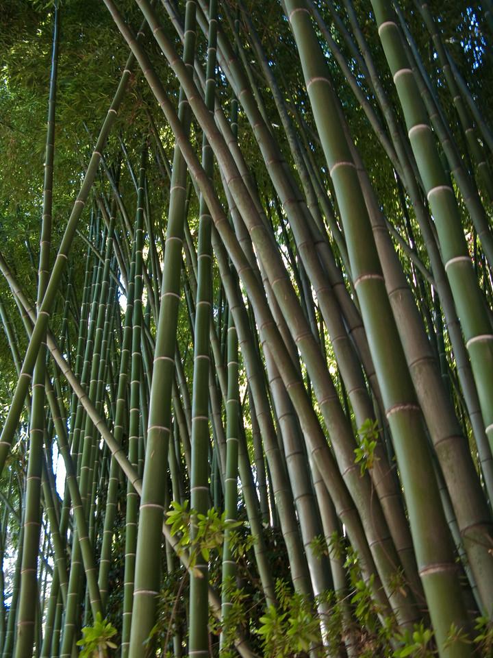 Hualalai Bamboo,  July 2009