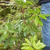 Plant c.1.3m high