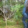 Plant c.1.5m high