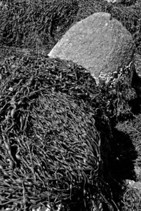 Tumbleweed Seaweed | 2009  Gloucester, MA