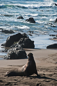Downward Dog  |  2009  Elephant Seal Rookery  |  San Simeon, CA