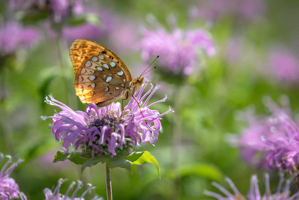 A Great Spangled Frittillary Butterfly On A Wild Bergamot ( Bee Balm) Flower At Charleston Falls Preserve In Miami County Ohio 6-27-2016