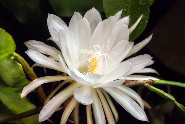 A Night-Blooming Cereus Cactus Flower In Miami County Ohio 8-27-2016