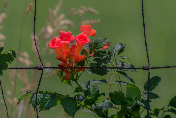 Trumpet Vine Growing Along An Old Farm Fence In Preble County Ohio 6-25-2016