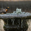 An American Robin Bathing In A Fountain Of Water At The Wegerzyn Gardens Metropark Dayton Ohio 7-7-2015