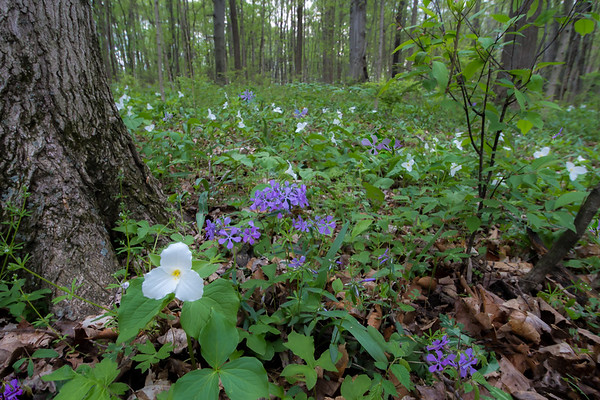 Wildflowers Dancing Along The Forest Floor At Taylorsville Metropark In Montgomery County Ohio 4-21-2017-1