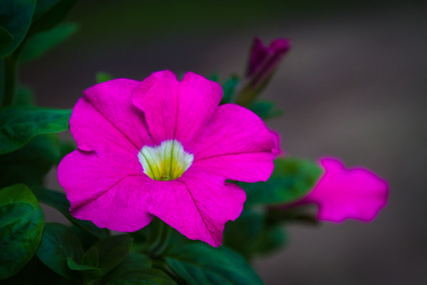A Pink Petunia Blossom In New Carlisle Ohio 5-12-2016
