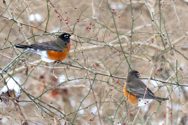 Robins Gathering Fruit From A Honeysuckle Shrub At John Bryan State Park In Yellow Springs Ohio 1-8-2017