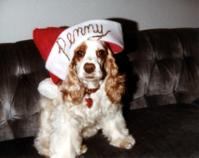 Ginger (1983-1991). She was our second cocker spaniel. We got her when she was 5 months old after our first dog, Taffy died of cancer. This picture was taken Christmas time 1984.