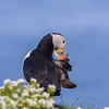 LUNDE   Fratercula arctica