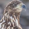 Havørn, White-tailed eagle, Troms