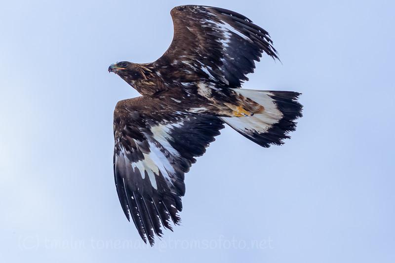 Kongeørn, Golden eagle, Troms