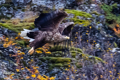 Havørn, White-tailed eagle, Tromsø