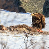 Havørn, White-tailed eagle, Troms