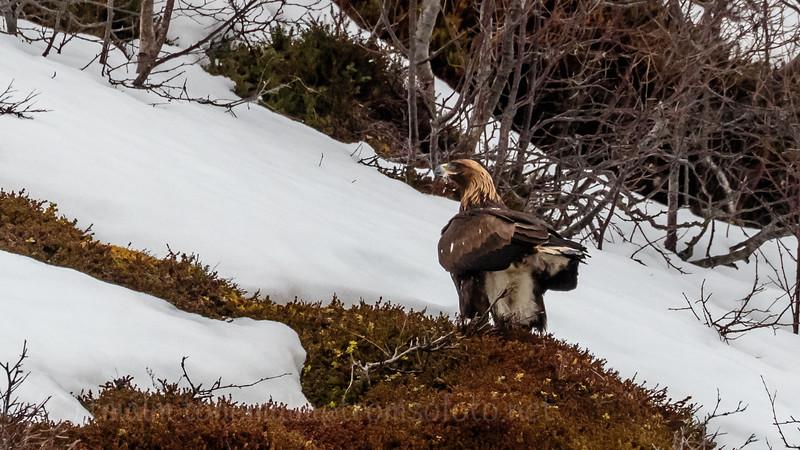 Kongeørn, Golden eagle, Tromsø