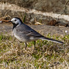 LINERLE, WHITE WAGTAIL