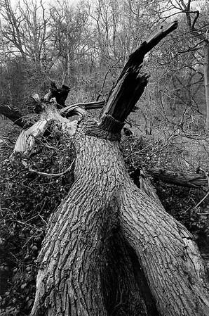 This Fallen Tree